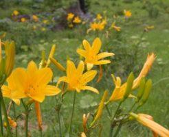 湿原地帯尾瀬に咲くニッコウキスゲ
