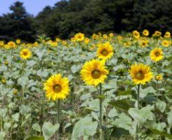 世羅高原農場に咲き揃ったひまわり
