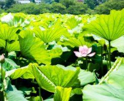 不忍池に咲いた蓮の花