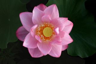 大きく開いたピンク色の蓮の花