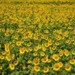 柳川ひまわり園2018!開花状況や見頃、アクセスは?