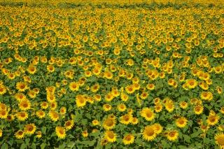 柳川ひまわり園に咲き揃うひまわり