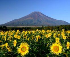 山中湖花の都公園に咲き揃うひまわり