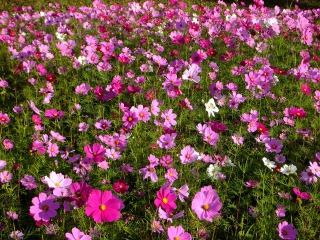 黒姫高原コスモス園に咲き揃ったコスモス達