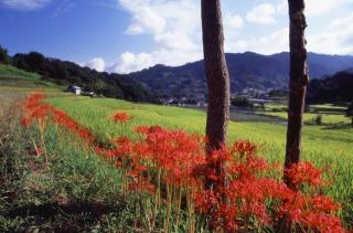 明日香村棚田の彼岸花と飛鳥時代から続く山並み