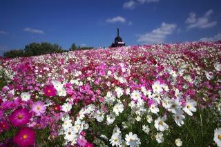 万博公園のコスモスは百花繚乱の様相