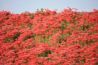 矢勝川堤2キロを埋め尽くす真っ赤な彼岸花