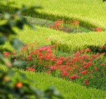 日向薬師群生地に咲く彼岸花
