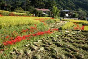日向薬師に咲く真っ赤な彼岸花