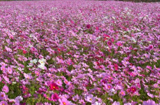 生駒高原に咲く100万本のコスモス