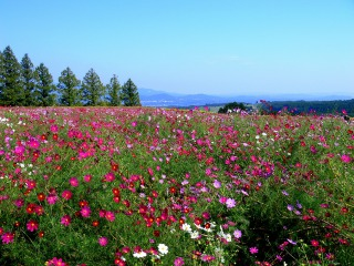 斜面を染め尽す生駒高原のコスモス