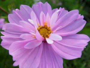 夢コスモス園に咲く珍しい品種サイケ