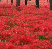 日高市巾着田に咲き乱れる彼岸花