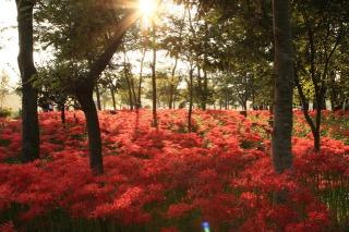 日本一大規模群生、曼珠沙華公園の彼岸花