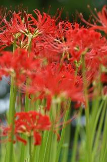 小出川沿いに咲き誇る真っ赤な彼岸花