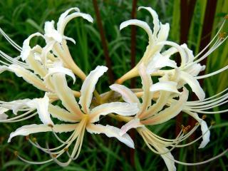 大蔵会場の寒川町青少年広場に咲く白い彼岸花