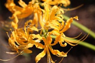 大蔵会場では黄色の彼岸花も見れます