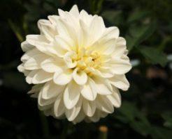 川西市黒川ダリア園に咲く白いダリア
