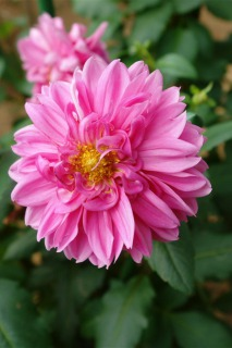 川西市黒川ダリア園に咲くピンクのダリア