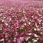 武庫川のコスモス2017!開花・見頃時期の楽しみ方やアクセスは?