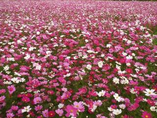 武庫川コスモス園に咲く550万本のコスモス
