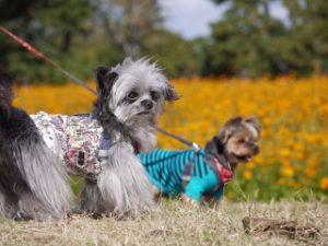 武庫川コスモス園内をワンちゃんを連れて散策する