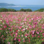 能古島のコスモス2017!開花・見頃時の楽しみ方やアクセスは?