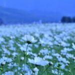 三光コスモス園2017!開花状況やアクセス、祭りの見どころは?