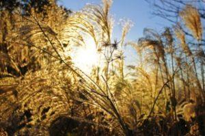 仙石原のすすきは早朝か夕方がキレイ