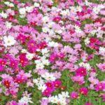 昭和記念公園コスモス2018!開花状況や見頃は?