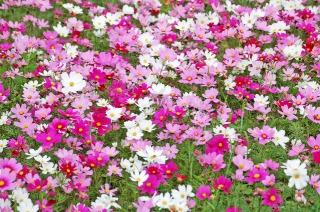 昭和記念公園に咲くコスモス
