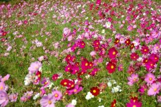 昭和記念公園の見どころは斜面に咲き誇るコスモス