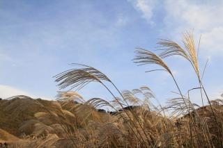 昼は銀色に輝く曽爾高原のすすき