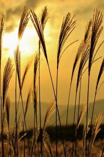 曽爾高原のすすき、夕方は夕日の反射で黄金色に輝く