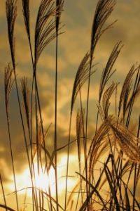 曽爾高原のすすきは夕暮れ時がオススメ