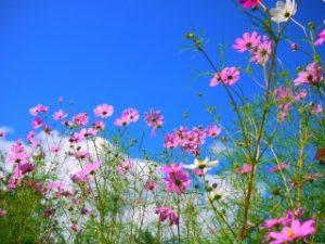 とよのコスモスの里に咲くピンクや白のコスモス