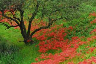 津屋川堤防に咲く彼岸花と大木