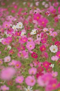 内山牧場大コスモス園に咲き誇るコスモス