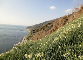 45度の急傾斜に咲く水仙