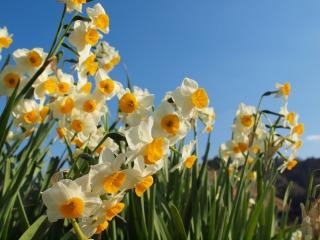 鋸南町に咲く水仙