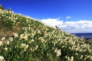 野母崎水仙の里公園に咲く水仙
