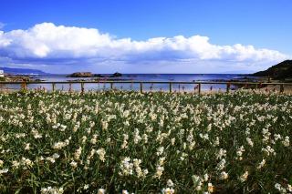 須崎半島先端、爪木崎公園の水仙