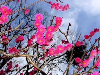 早咲きの梅が咲きました