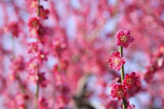 紅梅の紅千鳥が咲きました