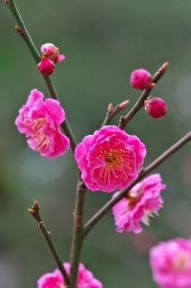 早咲き・八重寒紅の咲き始め