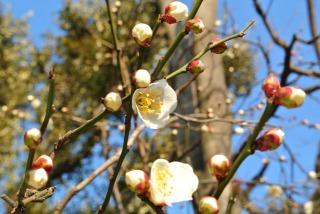 早咲き・冬至梅の咲き始め