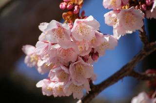 鮮やかなピンク色の熱海桜