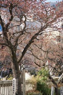 あたみ桜基準木