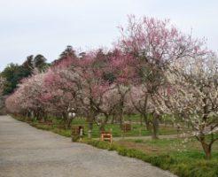水戸偕楽園に咲く梅の花