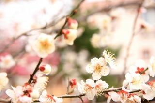 梅の花が咲き始めました
